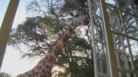 Giraffes mill around outside an old mansion in Kenya Footage