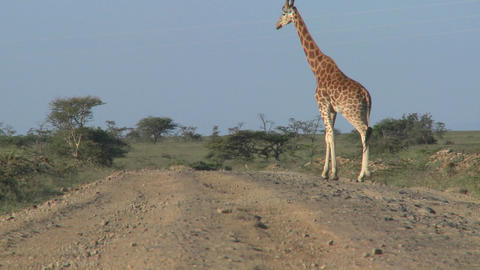 African giraffes cross the road Footage