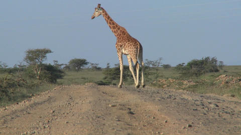 African giraffes cross the road Stock Video Footage