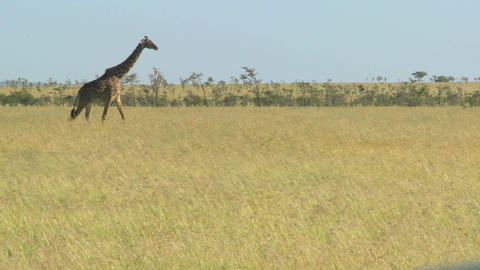 A giraffe crosses a golden savannah in Africa Stock Video Footage
