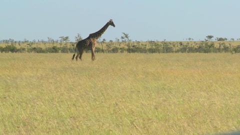 A giraffe crosses a golden savannah in Africa Stock Video Footage