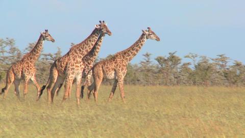 Giraffes walk through golden grasslands in Africa Stock Video Footage