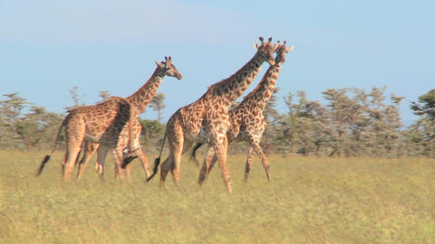 Giraffes walk through golden grasslands in Africa Footage