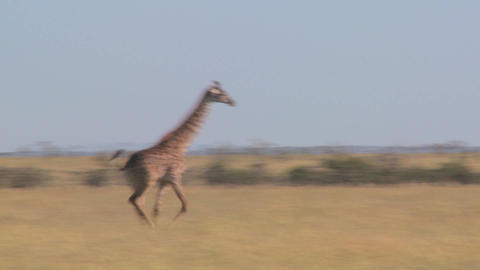 A giraffe runs across the savannah in Africa Footage