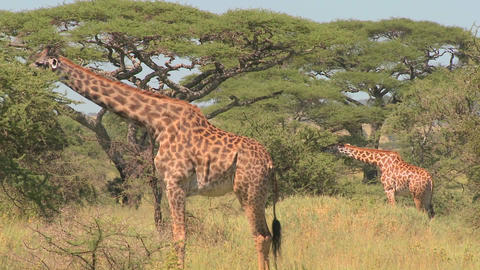 African giraffes eating from trees Stock Video Footage