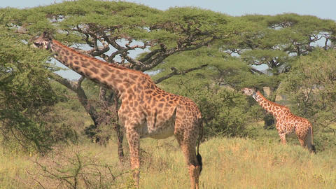 African giraffes eating from trees Footage