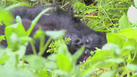 A mountain gorilla sits in the jungle greenery on a... Stock Video Footage