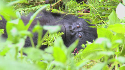 A mountain gorilla sits in the jungle greenery on a volcano in Rwanda Footage