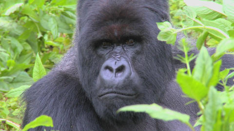 A classic shot of a mountain gorilla in the volcanic mountains of Rwanda Footage