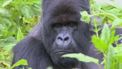 A classic shot of a mountain gorilla in the volcanic... Stock Video Footage