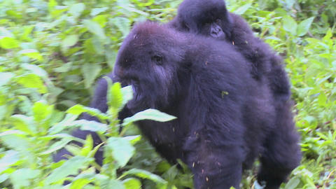 A gorilla mother carries its baby on its back through the... Stock Video Footage