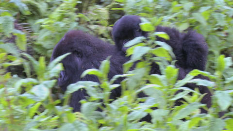 A gorilla mother carries its baby on its back through the Rwandan jungle Footage