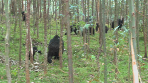 Mountain gorillas feed in a eucalyptus grove in Rwanda Footage