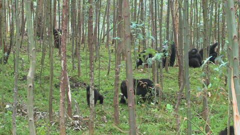 Mountain gorillas feed in a eucalyptus grove in Rwanda Stock Video Footage
