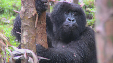 Mountain gorillas get high after eating the sap off eucalyptus trees in Rwanda Footage