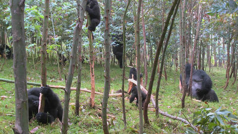 Mountain gorillas in a eucalyptus grove in Rwanda Stock Video Footage