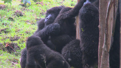 A family of mountain gorillas in Rwanda Stock Video Footage
