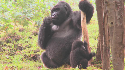 Mountain gorillas get high after eating the sap off... Stock Video Footage
