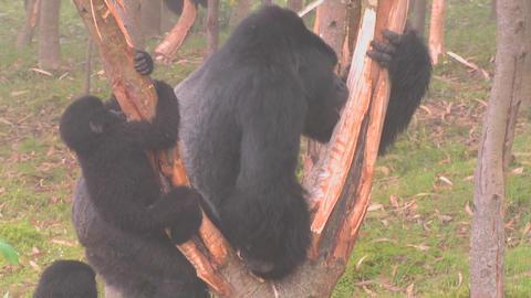 A large mountain gorilla attacks a eucalyptus in Rwanda Stock Video Footage