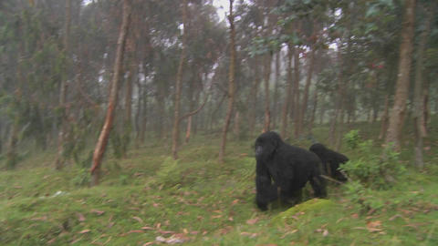 Gorilla and baby walk through farmers fields in the mist... Stock Video Footage