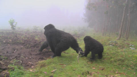 Gorilla and baby walk through farmers fields in the mist in Rwanda Footage