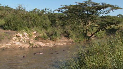 A wide shot of a river in Africa filled with hippos Footage