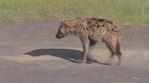 A hyena walks along a road in the savannah of Africa Footage