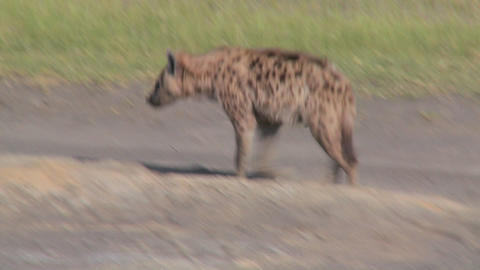 A hyena walks along a road in the savannah of Africa Stock Video Footage
