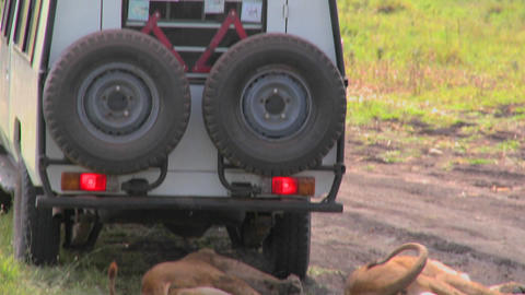 Tourists look out from a safari vehicle and we see lions relaxing on the ground below Footage