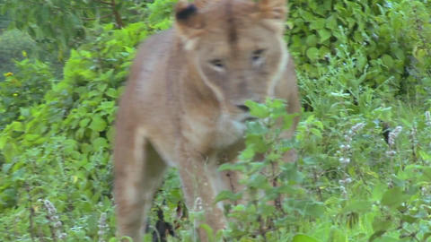 A beautiful shot of a female lion posing for the camera Stock Video Footage