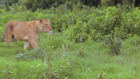 A beautiful female lion on the prowl in Africa Stock Video Footage