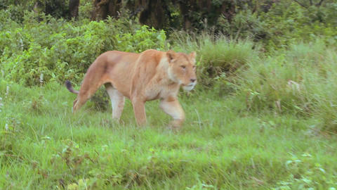 A beautiful female lion on the prowl in Africa Footage