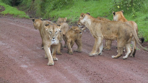 A brood of lions walks along a road in Africa Stock Video Footage