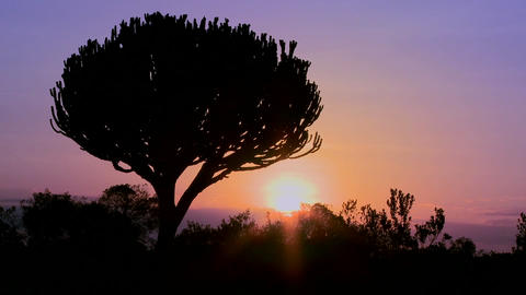 A beautiful sunset shot with a cactus tree in East Africa Stock Video Footage