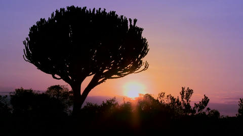 A beautiful sunset shot with a cactus tree in East Africa Footage