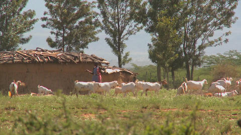 Masai tribesmen herd their cattle outside a village in Kenya Stock Video Footage