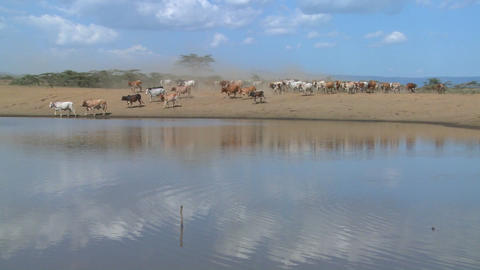 Masai cattle and cows are herded to a watering hole in Kenya Stock Video Footage