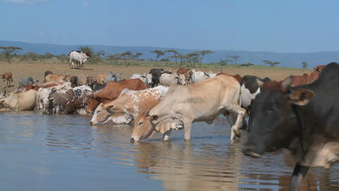 Cows and cattle drink from a watering hole in Africa Stock Video Footage