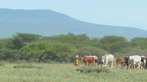 Masai tribesmen herd their cattle in Kenya Stock Video Footage
