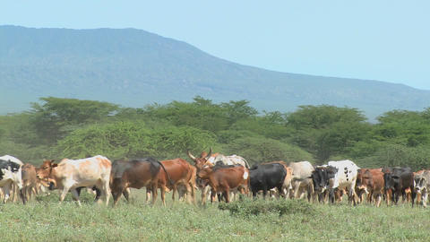 Masai tribesmen herd their cattle in Kenya Footage