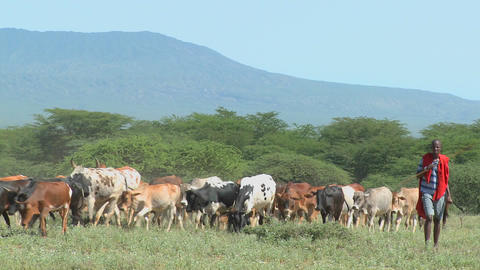 Masai tribesmen herd their cattle in Kenya Stock Video Footage
