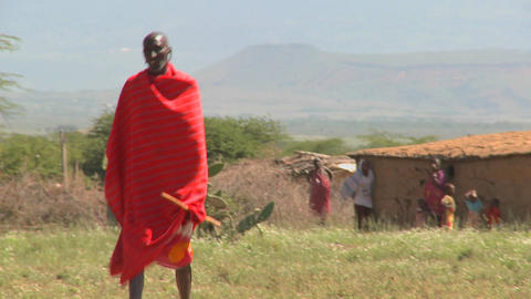 Red robed Masai walking in fields leading cattle Footage