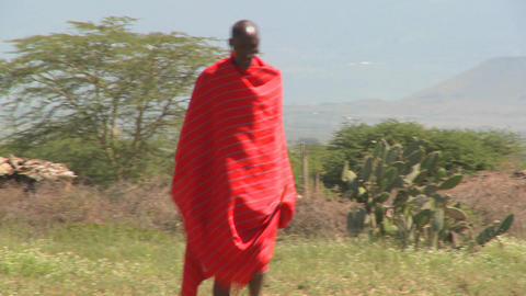 Red robed Masai walking in fields leading cattle Stock Video Footage