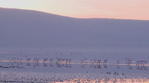 Beautiful footage of pink flamingos in early morning light on Lake Nakuru, Kenya Footage