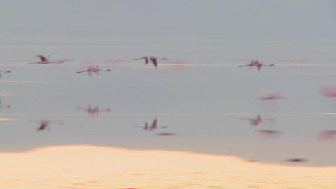Flamingos fly across Lake Nakuru, Kenya Stock Video Footage