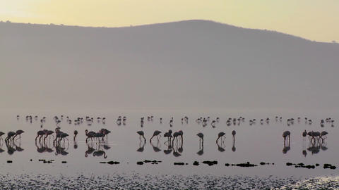 Beautiful silhouetted footage of pink flamingos in early morning light on Lake Nakuru, Kenya Footage