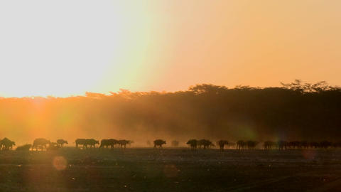 Cape buffalo migrate across the dusty plains of Africa Stock Video Footage