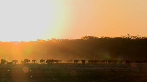 Cape buffalo migrate across the dusty plains of Africa Footage