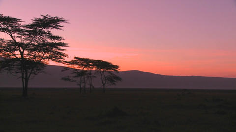 Beautiful acacia trees at sunrise on the plains of Africa Stock Video Footage