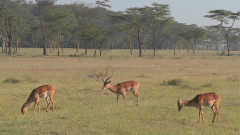 African antelope graze on the plains Footage